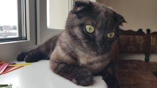 У Пумы болят лапки, так проявляется болезнь вислоухих шотландских кошек