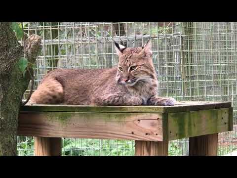 Checking in w/ the Big Cats Before Hurricane Irma