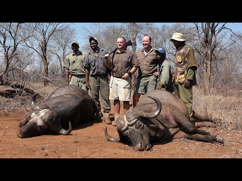 Hunting 7 Cape Buffalo with Thierry Labat Safaris [My Wild Africa Productions]