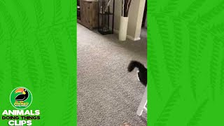 Cute Cat Tries to Chase its Tail | Animals Doing Things Clips