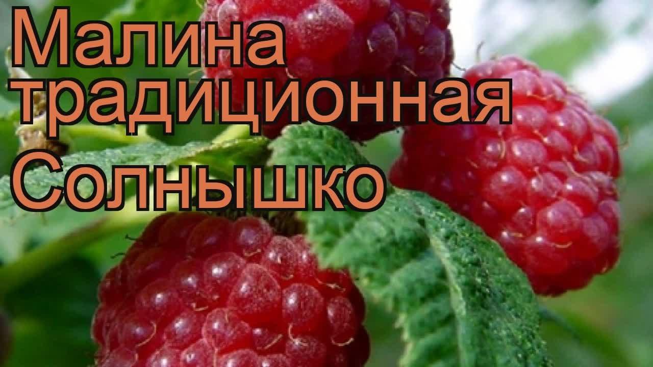 Сосна румелийская и сосна веймутова - YouTube