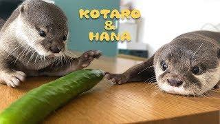 カワウソコタローとハナ 初めてのきゅうりに警戒心を抱く Otter Kotaro&Hana Try Cucumber For The First Time