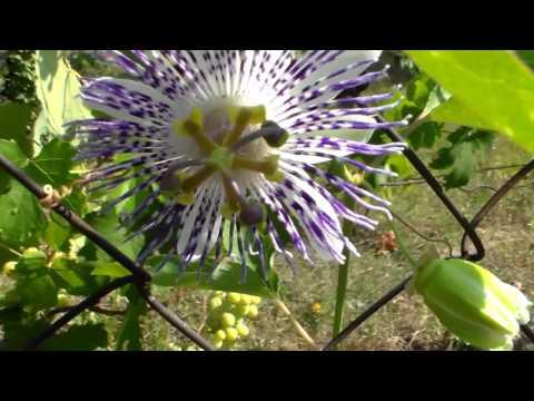 Пасифлоры из семян