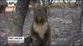 Koala Has Lucky Escape From Australian Bushfire