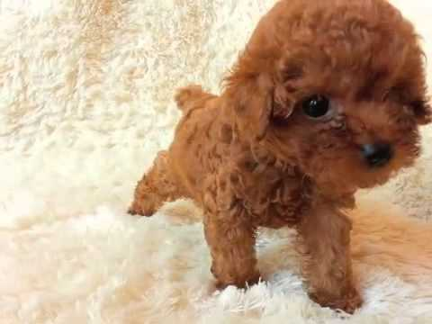 Annie At Itsy Puppy Teacup Apricot Poodles For Sale
