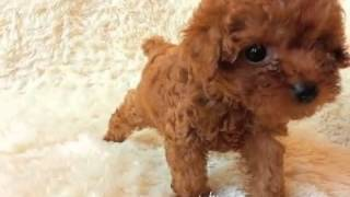 Annie At Itsy Puppy - Teacup Apricot Poodles For Sale