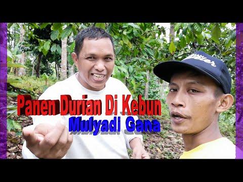 Mulyadi Gana | Panen Durian Bareng Durian Traveler