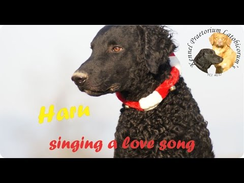 Curly Coated Retriever Haru howling