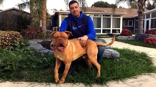 Rocky, A Young Male Dogue De Bordeaux French Mastiff, Is Looking For A Forever Home!