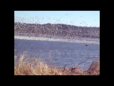 Squaw Creek National Wildlife Area:snowgeese