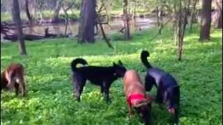Off Leash Training Utilizing E-collar + Structured Play Method, Dynamic Dogs Chicago