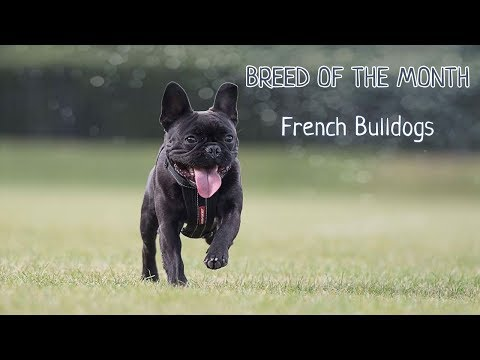 Breed of the month: French Bulldog