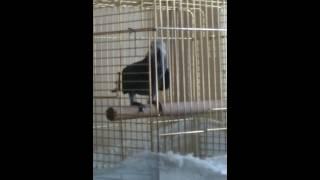 papağan şakir yine konuşuyor