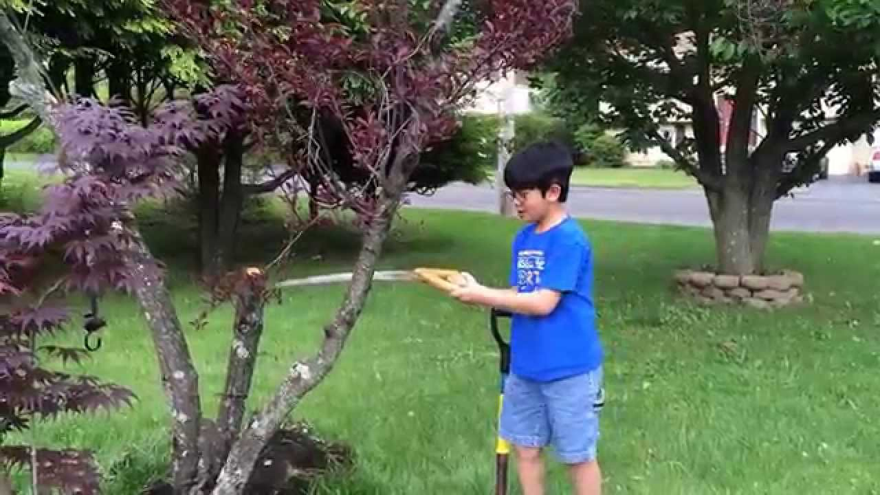 Bloodgood The Japanese Maple Saga Continues Part 1 Cutting Down A