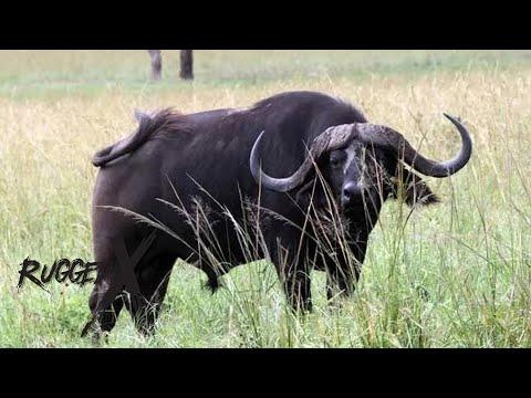 Cape Buffalo Charge with J Alain Smith