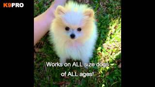 Pomeranian Puppy Training
