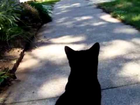 Panther My Bombay Cat.flv