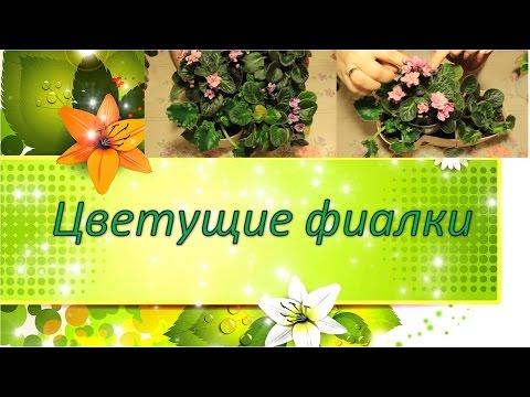 Цветы фиалки - описание с фото растения; польза и вред