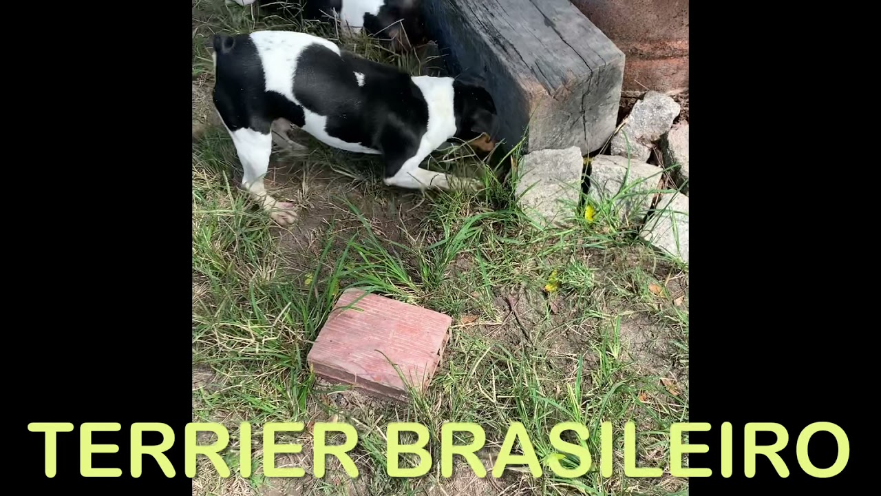 Terrier Brasileiro - Brazilian Terrier