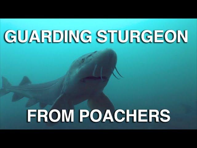 Sturgeon Guarding - Great Lakes Now - Episode 1027 - Segment 3