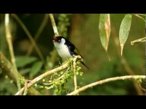 Some birds of the Atlantic Forest