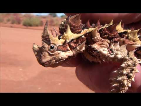 Thorny Devil Lizard road removal and relocate