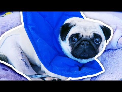 Thumbnail: What happened to Ellie the Pug?