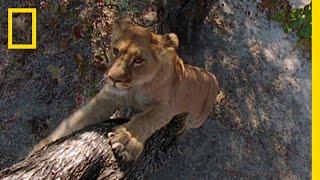 ヒヒを狙った子ライオンのしょっぱい経験 |ナショジオ