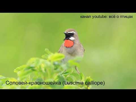 Виды Соловьёв Алтайского края /birds of Altai/the SINGING of LESNICHII Soloviev /ПЕНИЕ ПТИЦ/