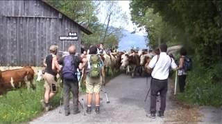 La montée des vaches en alpages (VILLARD)