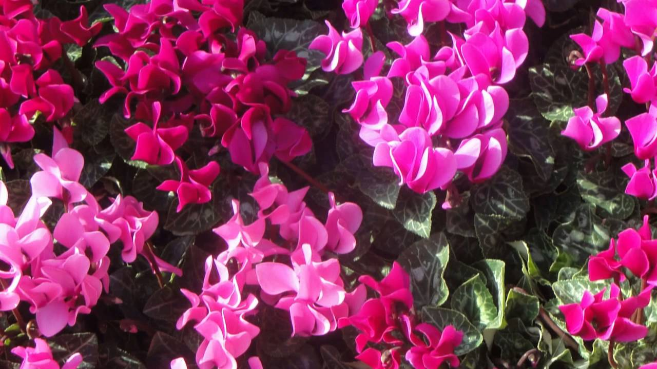 Pesaro 2014 mostra mercato dei fiori e delle piante for Fiori ornamentali