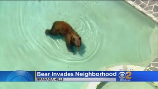 Granada Hills Residents On Edge While Bear Goes Pool-Hopping.