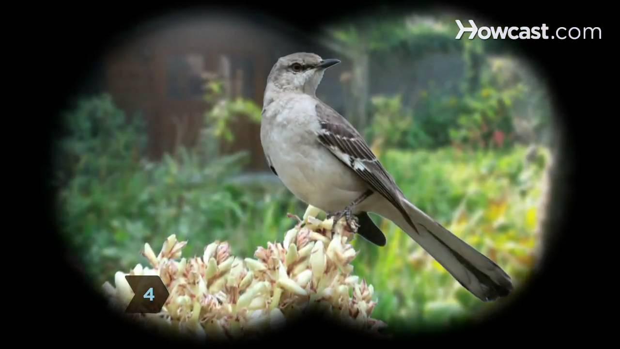 How To Identify Birds The Mockingbird