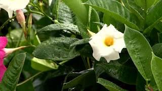 Video Mandevilla vine brings beautiful blooms all summer download MP3, 3GP, MP4, WEBM, AVI, FLV Juni 2018