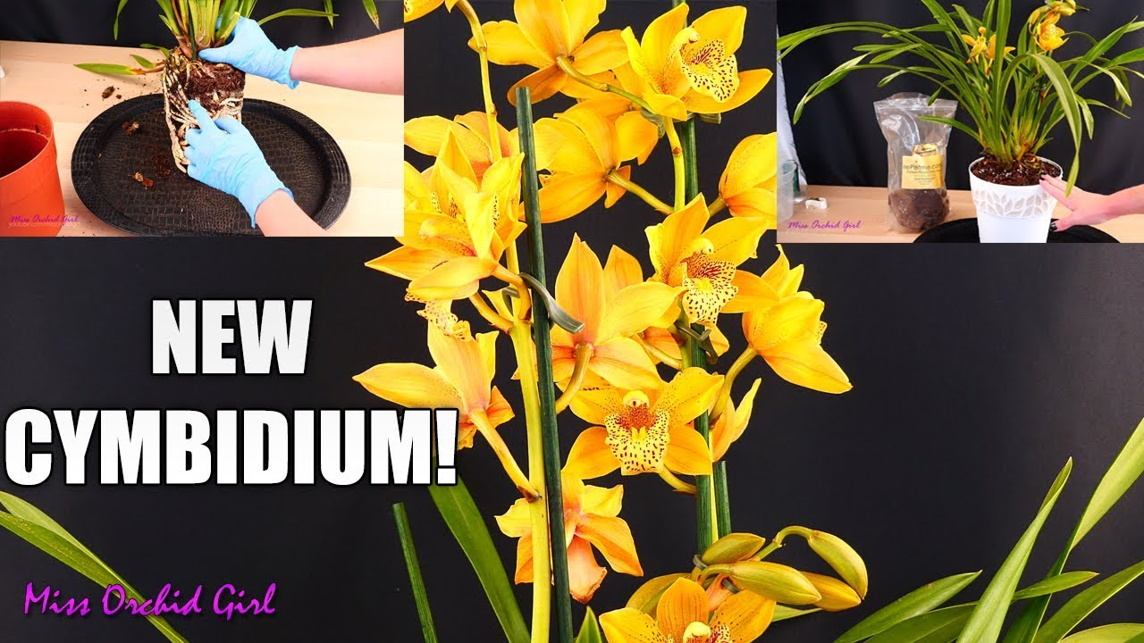 Repotting My New Cymbidium Orchid In Repotme Mix Youtube