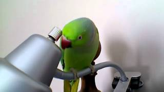 Sounds of my New Indian Ringneck Parakeet