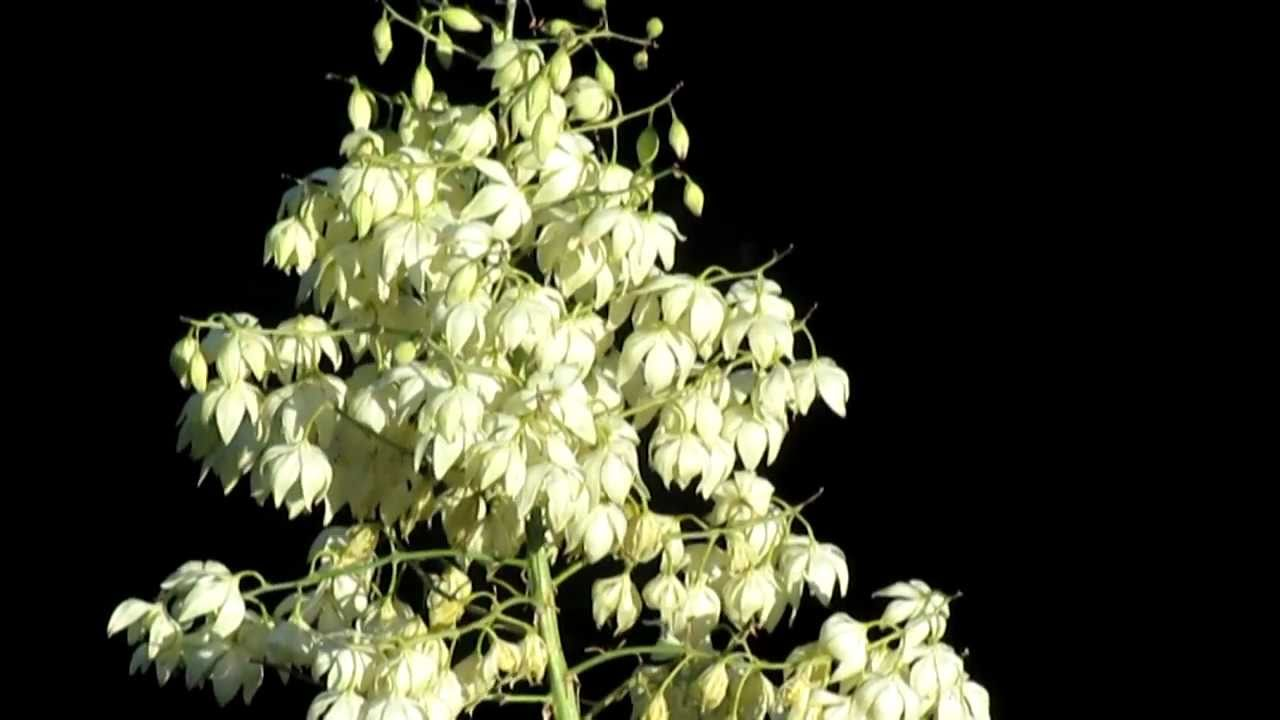 Native American Plants Yucca And The Chumash People