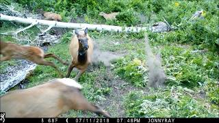 Cougar attacks Elk