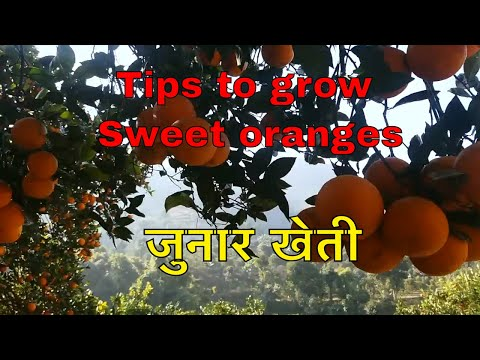 Sweet Oranges tips for growing