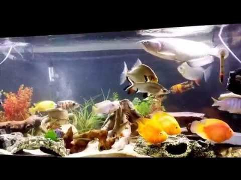 Red Parrot Fish Tank Mates