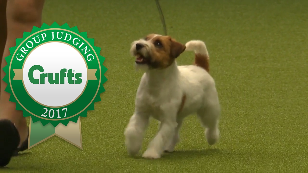 Crufts Dog Show Jack Russell