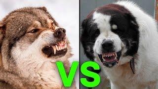 Cães que ENCARAM animais selvagens
