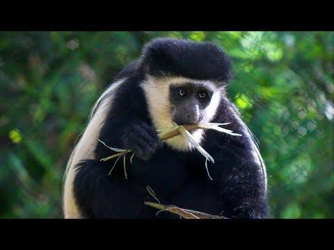 "GoPro Catches Dallas Zoo's Colobus Monkeys ""Monkeying Around"""