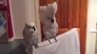 Papugi kakadu - dance