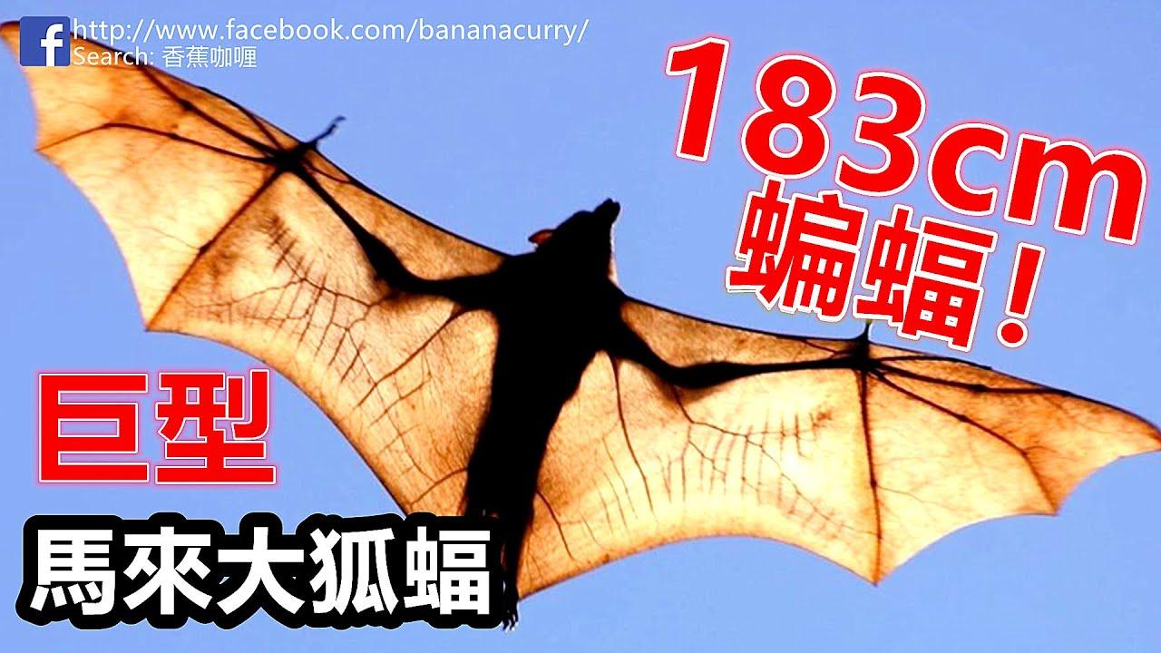 巨型蝙蝠 馬來大狐蝠 | 翼展長達成年人1.83米!