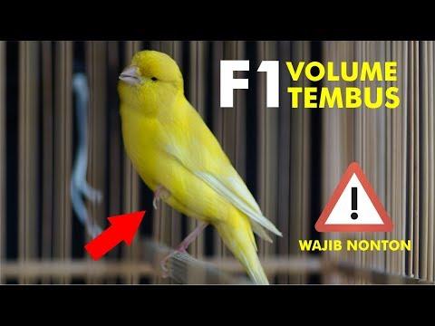 Download Lagu Kicau Kenari F1 Gacor Volume Tembus