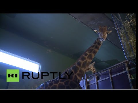 Denmark: Second giraffe Marius staying alive
