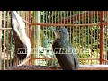 Manuk Siri Siri Gacor Masteran Burung Anda Langsung Respon  Mp3 - Mp4 Download