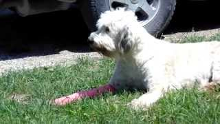 Livestock guard dog video #5 my poor dog