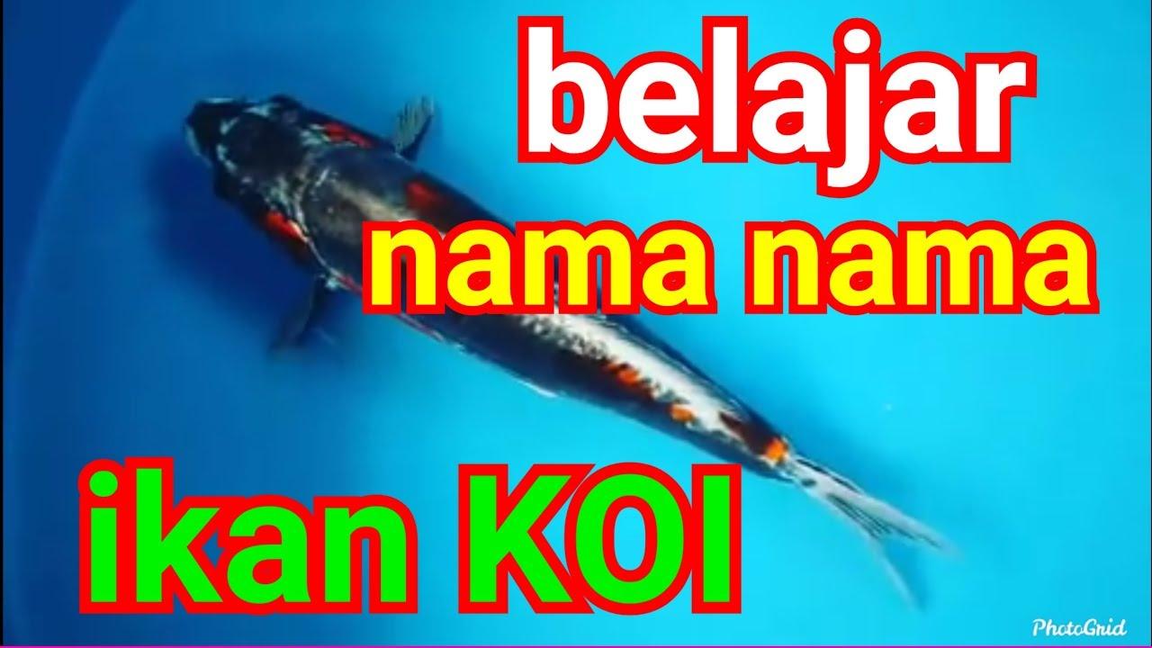 20 Jenis Ikan Koi Terkenal Dan Populer Youtube